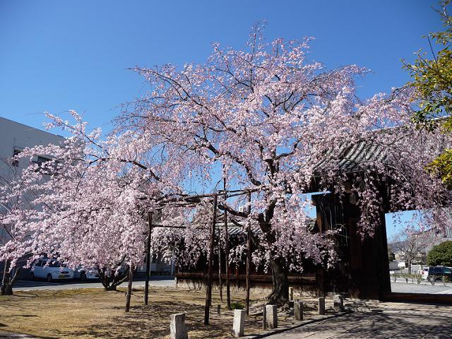 妙覚寺 大門の桜