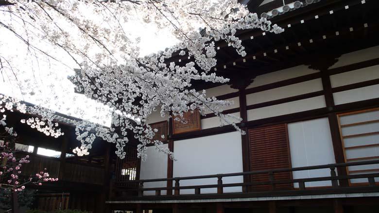阿弥陀寺 寺町 桜